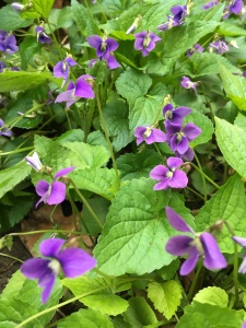 Wild patch of violets